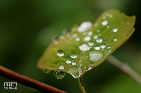 Droplets on a leaf (11 of 12)