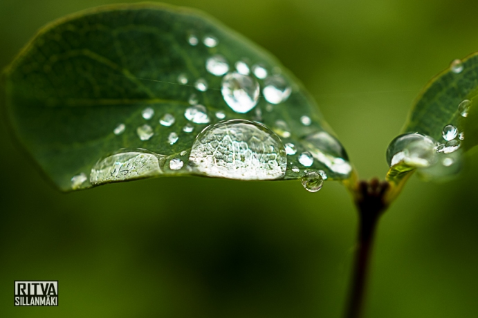Droplets on a leaf (5 of 12)