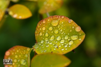 Droplets on a leaf (9 of 12)
