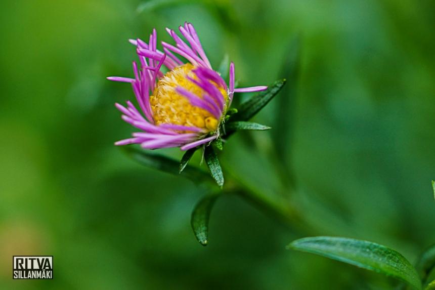 Symphyotrichum novi-belgii also known as New York Aster