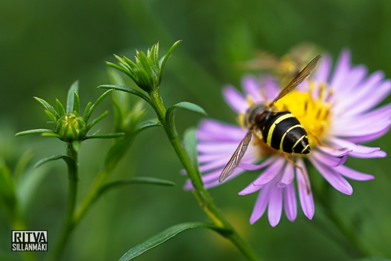 Symphyotrichum novi-belgii also known as New York Aster