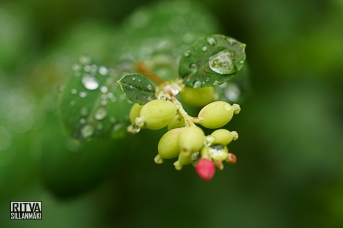 Snowberry - Droplets (2 of 47)