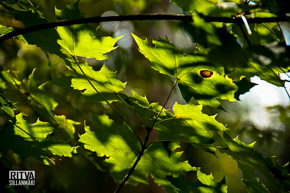 Mable tree leaves