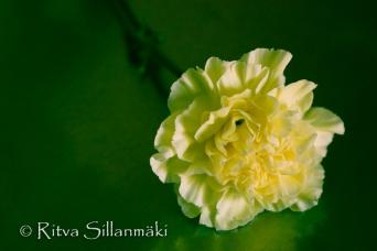Carnation (19 of 32)