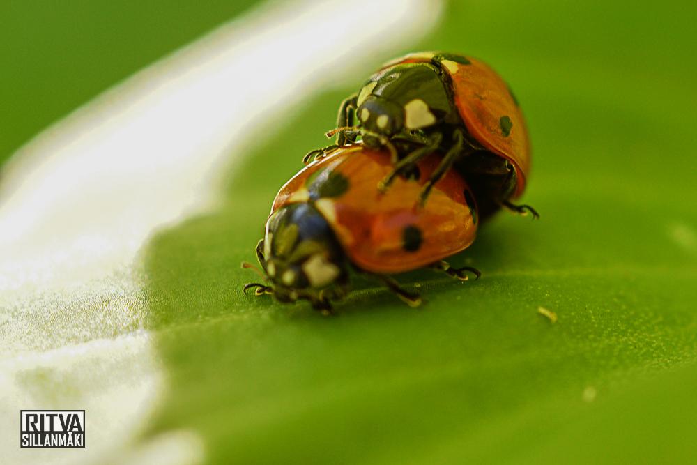 Sept 4  lady bugs