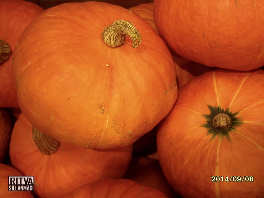 Pumpkin - Kurpitsa