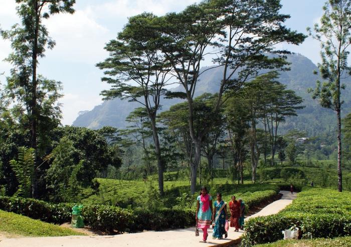 Path  in the  tea fields