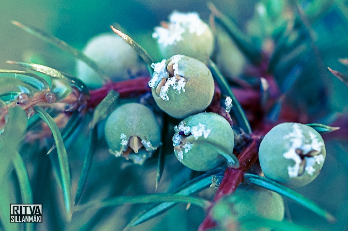 Juniper berry with frost bites