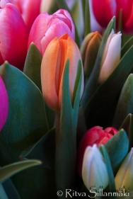 RS -Tulips-09595