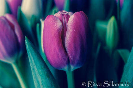 RS -Tulips-09600
