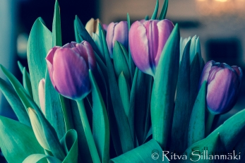 RS -Tulips-09606