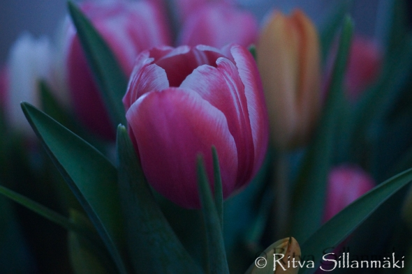 RS -Tulips-09623