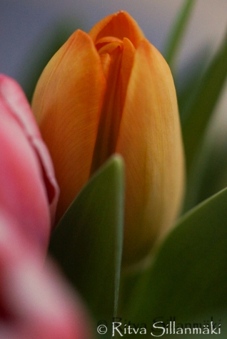 RS -Tulips-09624