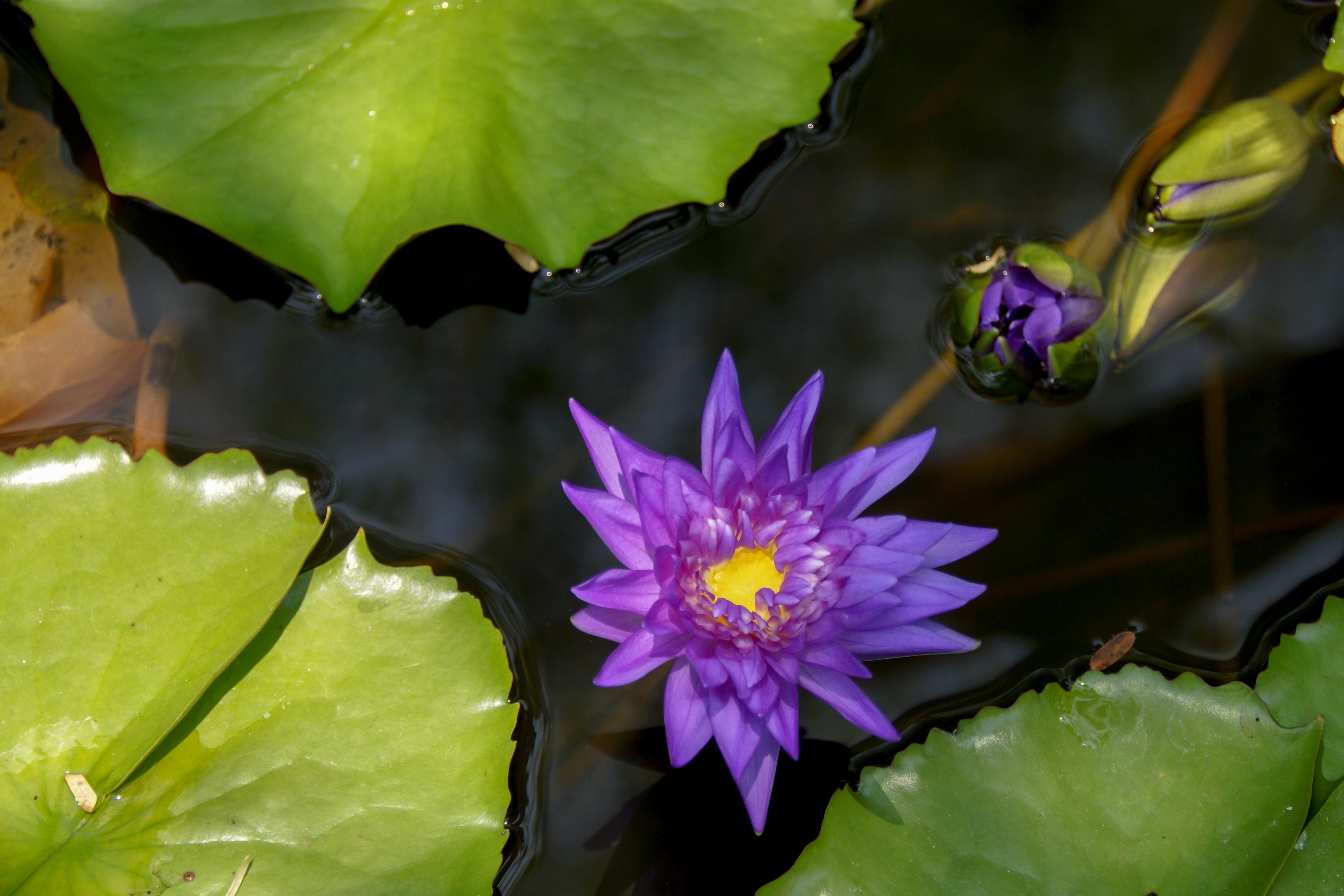 Treasures From The Garden 4 Purple Lotus Nelumbo Nucifera