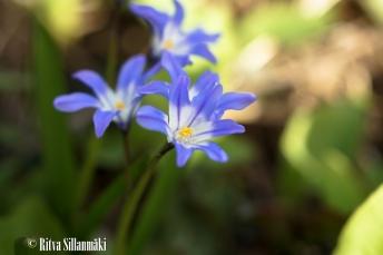 spring flowers (10 of 37)