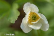 spring flowers (25 of 37)