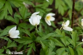 spring flowers (26 of 37)