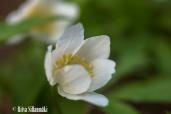 spring flowers (29 of 37)