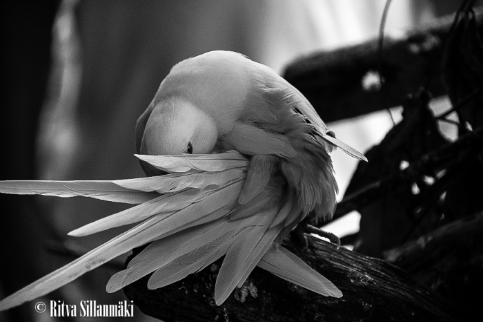 White Parrot in BW_ Ritva Sillanmäki (1 of 1)-2