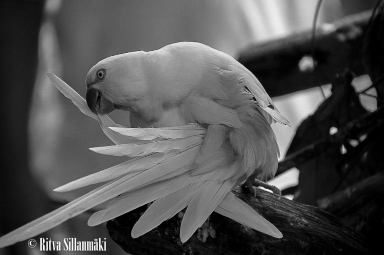 White Parrot in BW_ Ritva Sillanmäki (1 of 1)-3