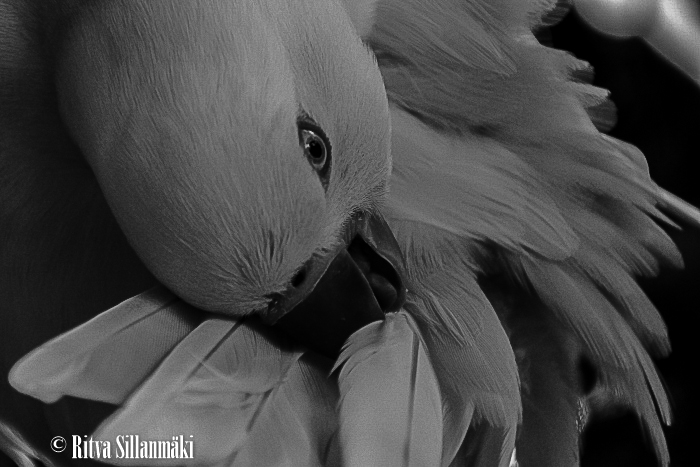 White Parrot in BW_ Ritva Sillanmäki (1 of 1)