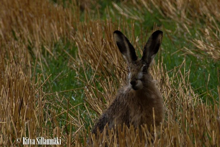 Rabbit,