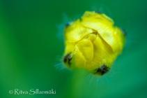 wild flower- Ritva Sillanmäki (1 of 1)-2