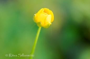 wild flower- Ritva Sillanmäki (1 of 1)-3