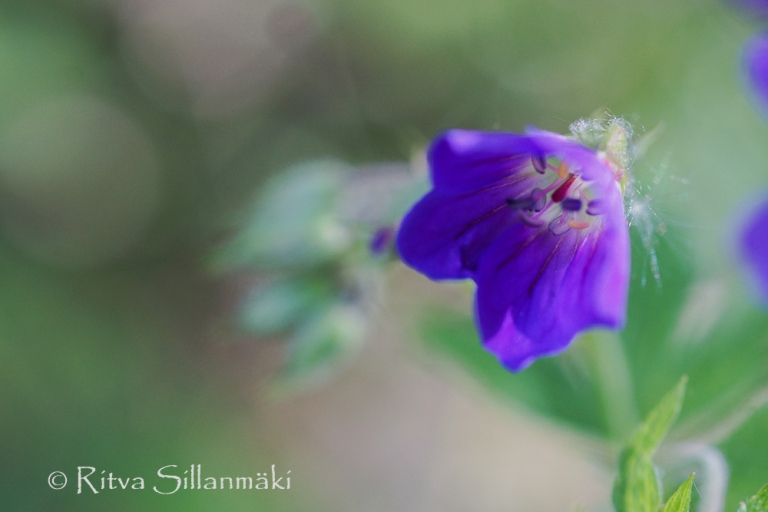 wild flower- Ritva Sillanmäki (1 of 1)-5