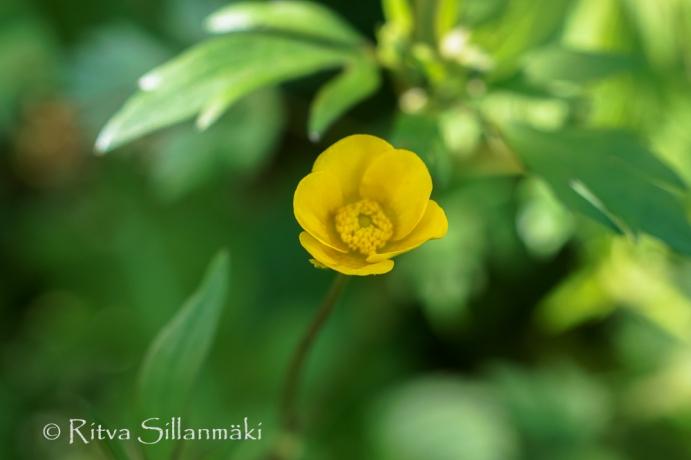 wild flower- Ritva Sillanmäki (1 of 1)-7