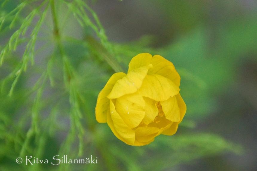 wild flower- Ritva Sillanmäki (1 of 1)