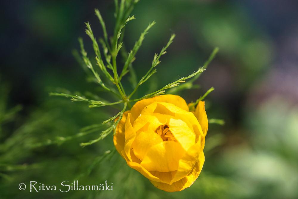wild flower- Ritva Sillanmäki (1 of 2)