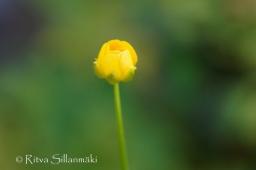 wild flower- Ritva Sillanmäki (115 of 144)