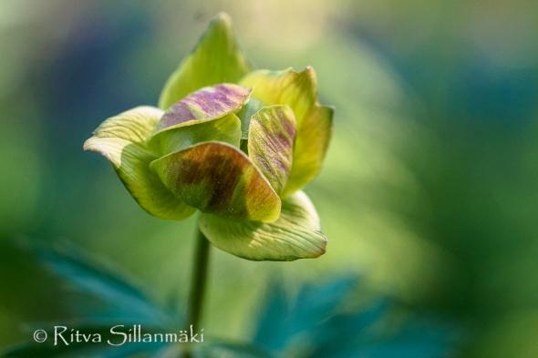 wild flower- Ritva Sillanmäki (134 of 144)