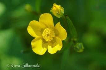 wild flower- Ritva Sillanmäki (143 of 144)
