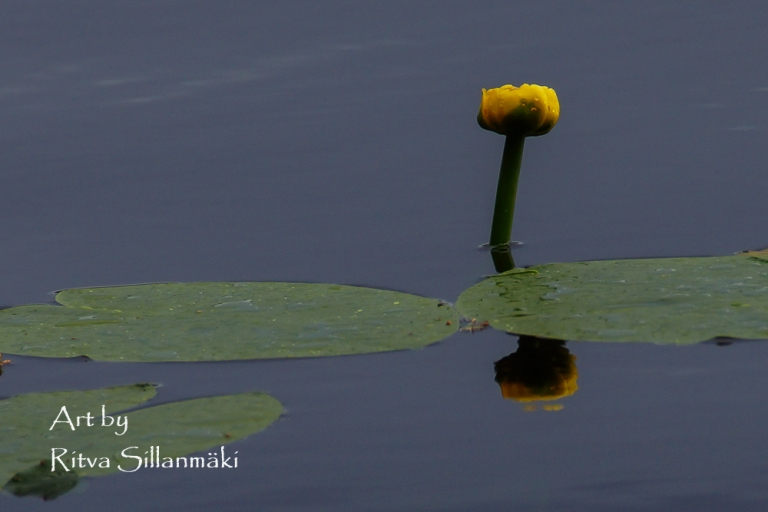 SImple water lily