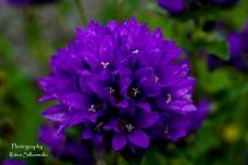 summer flowers (12 of 104)