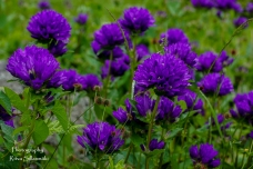 summer flowers (13 of 104)