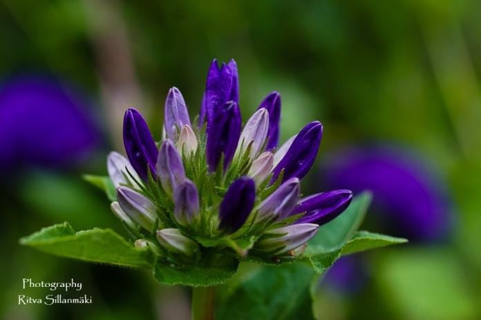 summer flowers (15 of 104)