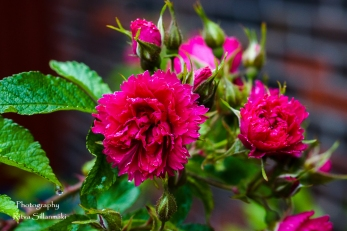 summer flowers (50 of 104)