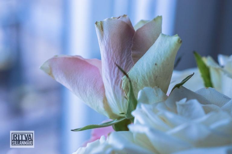Roses  (27)