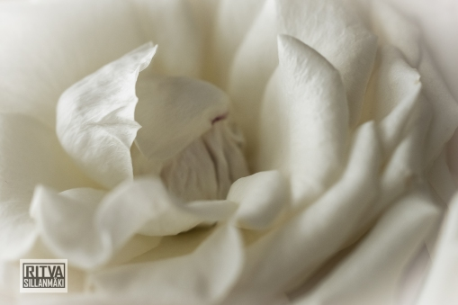 Roses (7)