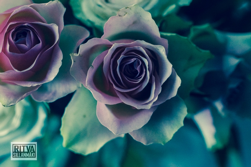 Roses on bloom-00918