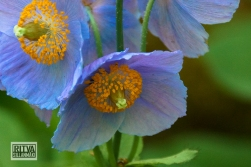 HIMALAYAN BLUE POPPY--2