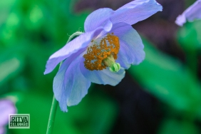 HIMALAYAN BLUE POPPY--3