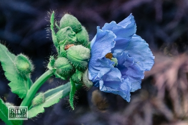 HIMALAYAN BLUE POPPY--4