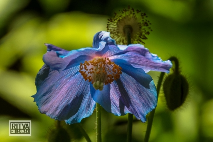 HIMALAYAN BLUE POPPY--5
