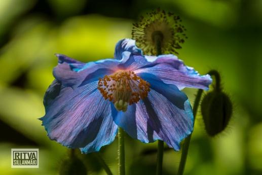 HIMALAYAN BLUE POPPY--5