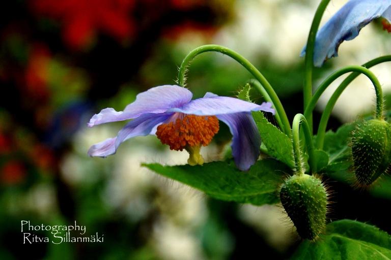 Himalayan blue poppy.JPG