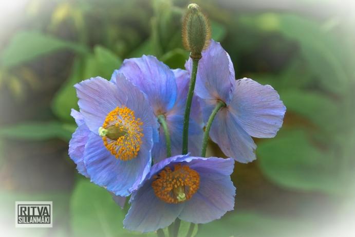 HIMALAYAN BLUE POPPY-